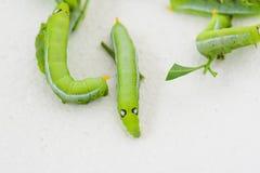 Зеленый пухлый червь Стоковые Изображения RF