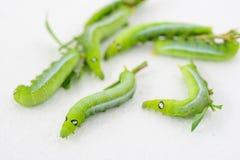 Зеленый пухлый червь Стоковое фото RF