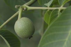 Зеленый плодоовощ грецкого ореха в хворостине Стоковое Изображение