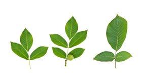 Зеленый плодоовощ грецкого ореха с лист Стоковые Фотографии RF