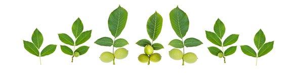 Зеленый плодоовощ грецкого ореха с лист Стоковое Изображение RF