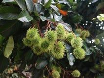 Зеленый плодоовощ рамбутана Стоковое Изображение RF
