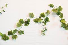 зеленый плющ бело Конец-вверх стоковое изображение rf
