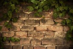Зеленый плющ на предпосылке кирпичной стены стоковые изображения rf