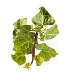 зеленый плющ Стоковое фото RF