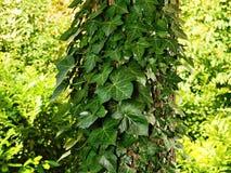 зеленый плющ Стоковое Изображение RF