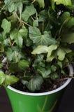 зеленый плющ стоковая фотография rf