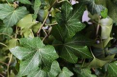 зеленый плющ стоковое изображение