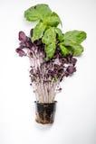 зеленый растущий базилик Стоковая Фотография RF