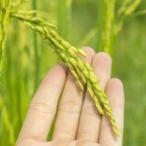 Зеленый рис в руках человека Стоковая Фотография