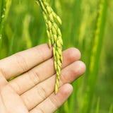 Зеленый рис в руках человека Стоковые Изображения RF