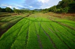 Зеленый рис в Таиланде Стоковое Изображение RF