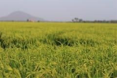 Зеленый рис в Таиланде Стоковые Фото