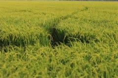 Зеленый рис в Таиланде Стоковые Фотографии RF