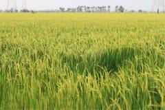 Зеленый рис в Таиланде Стоковая Фотография RF