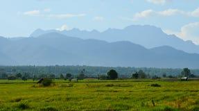 Зеленый рис Стоковая Фотография
