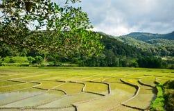 Зеленый рис Стоковые Изображения RF