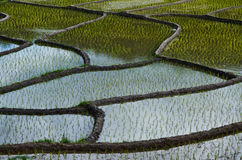 Зеленый рис Стоковое Изображение