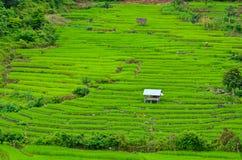 Зеленый рис Стоковые Фото