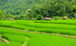 Зеленый рис Стоковое Фото