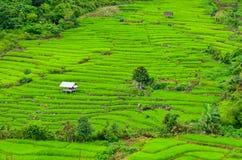 Зеленый рис Стоковые Изображения