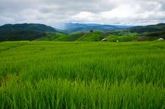 Зеленый рис Стоковая Фотография RF