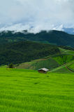 Зеленый рис Стоковое фото RF