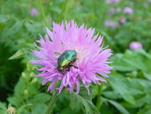 Зеленый розовый жук-чефер на цветке Стоковая Фотография RF