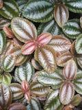 Зеленый, розовый, картина, текстура листьев Стоковое Изображение RF