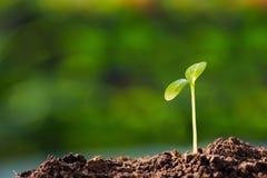 Зеленый росток Стоковое Изображение RF