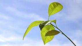 Зеленый росток против голубого неба сток-видео
