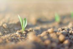Зеленый росток хлопьев Растущий молодой саженец зеленой мозоли Стоковые Изображения