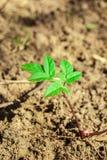 зеленый росток Стоковые Изображения