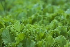 Зеленый салат выходит предпосылка Стоковые Изображения RF
