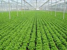 Зеленый салат в ряд в парнике стоковая фотография rf