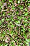 зеленый салат листьев Стоковые Фото