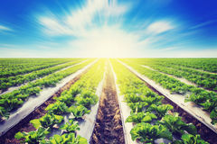 Зеленый салат на земледелии поля с влиянием солнечного света Стоковая Фотография RF