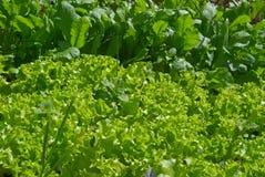 Зеленый салат на кровати. Стоковая Фотография
