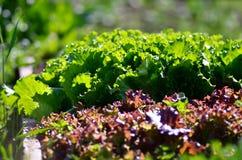 Зеленый салат растя в огороде Здоровое growin салата Стоковые Фотографии RF