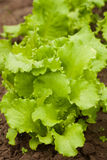 Зеленый салат растя в огороде Стоковое фото RF