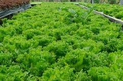 Зеленый салат дуба стоковое изображение rf