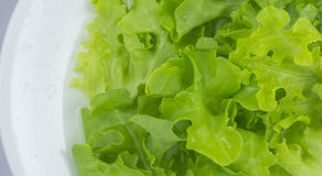 Зеленый салат дуба Стоковые Фотографии RF