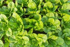 Зеленый салат cos Стоковые Фотографии RF