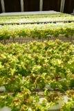 Зеленый свежий овощ Стоковые Изображения