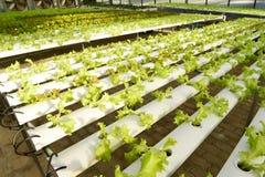 Зеленый свежий овощ Стоковое Изображение RF