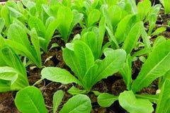 Зеленый свежий овощ Стоковое Фото
