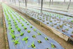 Зеленый свежий овощ Стоковые Изображения RF