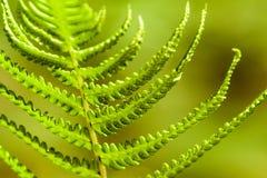 Зеленый свежий папоротник выходит фото макроса против зеленой предпосылки Стоковые Изображения RF