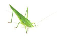 Зеленый сверчок Стоковые Фото