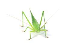 Зеленый сверчок Стоковая Фотография RF